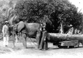 Le frère Mathias Schmitt (1875-1957) et son éléphant Fritz traînant une bille de bois, lagune Fernan Vaz, Gabon, vers 1910-1920. © Archives de la Congrégation du Saint-Esprit.